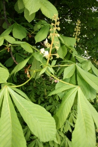 Horse Chestnut candle