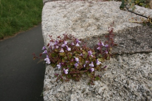 Ivy Leafed Toadflax